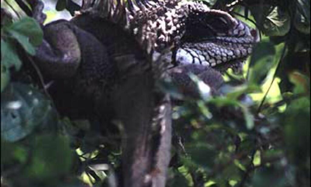 Hvis man bruker øynene godt, kan man bl.a. få øye på iguaner oppe i trærne. Her fra Cumana nasjonalpark utenfor Puerto la Cruz.  Foto: Stian Mong