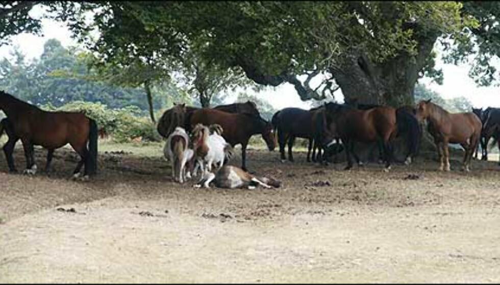 De små tofargede er ikke New Forest ponnier, de kommer fra Shetland. Foto: Stine Okkelmo