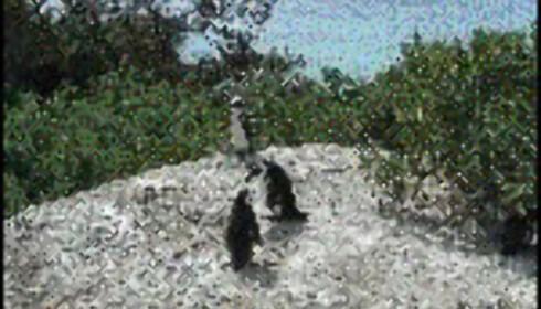 Opplev pingvinlivet på nært hold.  Foto: Gry Gaard Foto: Gry Gaard