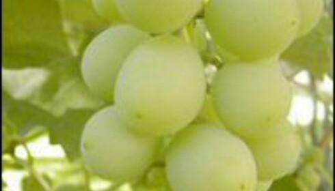 Grønne druer fra Tokaji distriktet blir til en guddommelig vin.