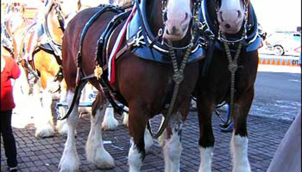 Bryggerihester som trekker en vogn med afterskiernes favoritt - budweiser.