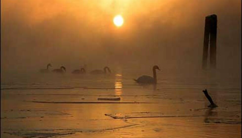 Frostrøyk, lav sol og is. Svanene er vakre fugler, og blir ikke mindre flotte i dette lyset. Bildet er tatt av Bård Wærstad. Foto: Bård Wærstad