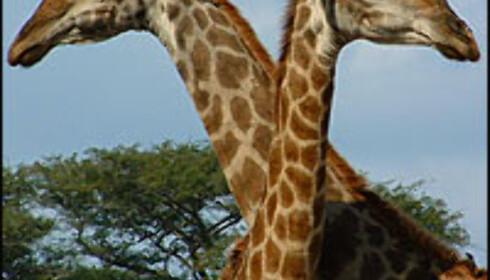 Oppvarming: To giraffer som koser - blant de mer nusselige tingene du kan se på SF Zoos årlige sextur. Foto: Gry Gaard Foto: Gry Gaard
