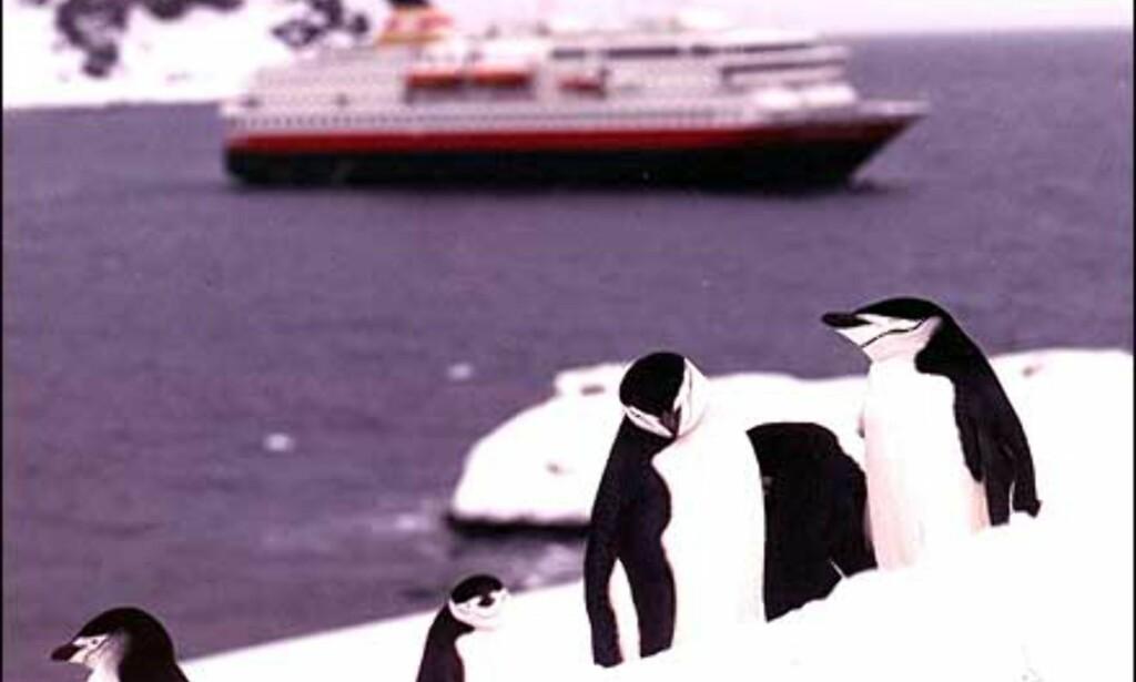 Pingviner er ikke et uvanlig syn nær den sydlige polarsirkelen.   Foto: Ofotens og Vesteraalens Dampskibsselskab asa Foto: Michelle Opshaug