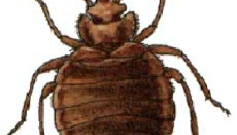 Veggdyret: gir plager, men ikke pest. Bilde gjengitt med tillatelse fra Universitetets Naturhistoriske Museer og botaniske Hage