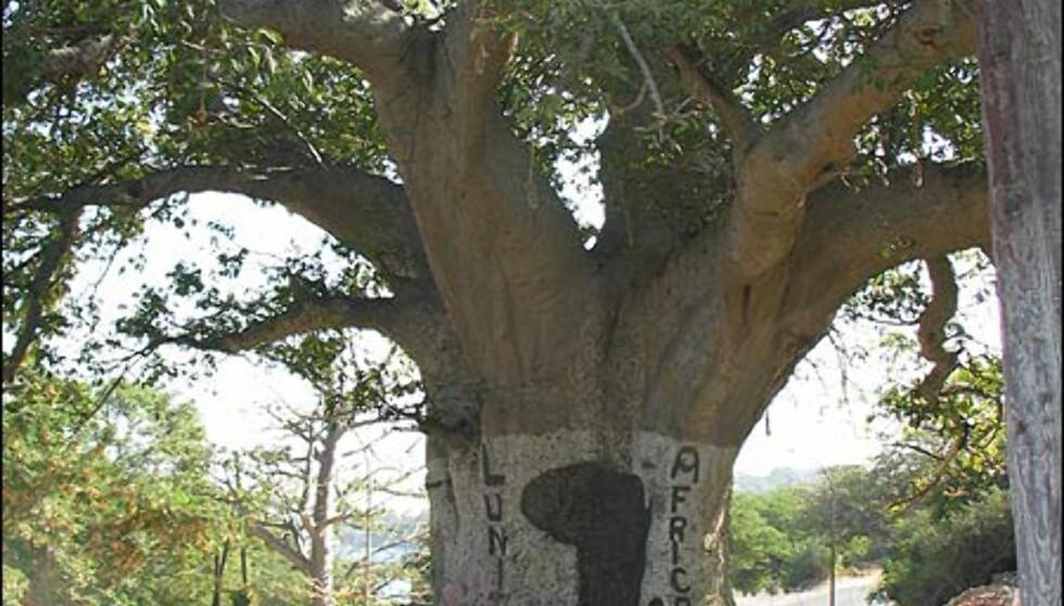 Bao-bab-treet er Senegals nasjonaltre og kan bli mer enn tusen år gammelt.