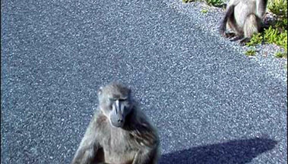Bite kan også bavianene gjøre. Aper er kanskje morsomme å se på, men hold deg unna, og ikke gi dem mat. Bavianer har en fryktinngytende tanngard, og skyr ingen midler i jakten på matpakken din.