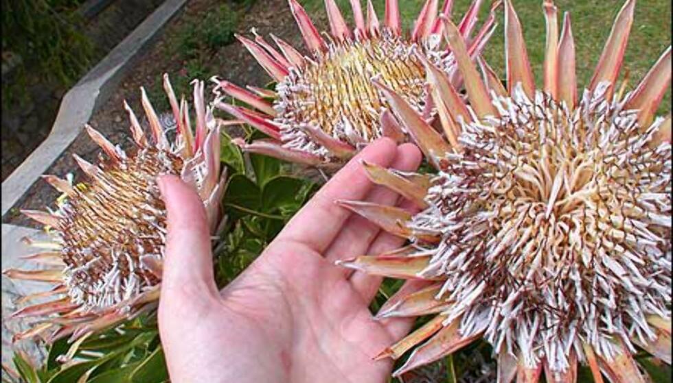 King Protea, Sør-Afrikas nasjonalblomst.