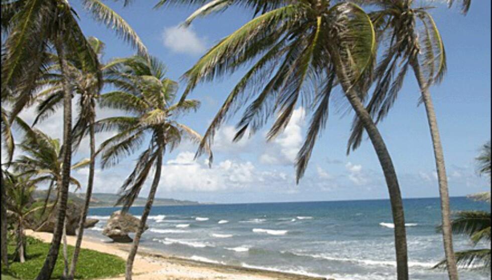 Palmer i sterk vind på Barbados' østkyst.(Foto: Dag Yngve Dahle).