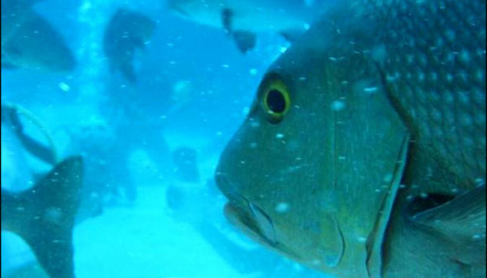 Mating av fisk ved Great Barrier Reef. Foto: Frode Klevstul Foto: Frode Klevstul