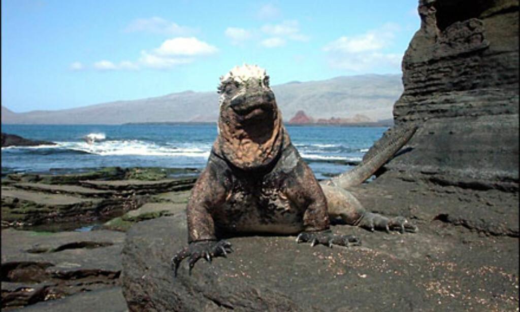 Vann-iguana på Galápagosøyene. Foto: Agnes Gram Foto: Agnes Gram