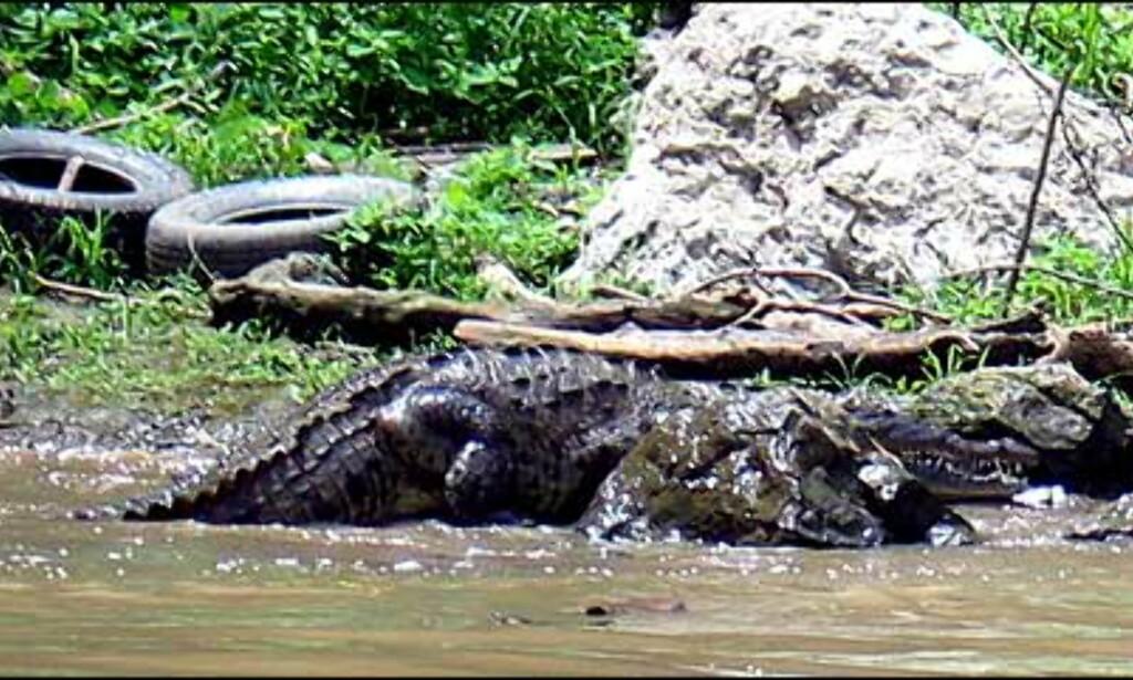 Se etter krokodillen ... Foto: Lene Heiberg