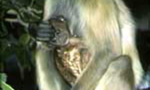 Aper i naturen er greit, men på bussen kan de føre med seg trøbbel. Illustrasjonsfoto: Kirsti van Hoegee Foto: Kirsti van Hoegee