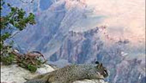 Øyvind Balle har fotografert et nysgjerrig ekorn på kanten av stupet i Grand Canyon. Foto: Øyvind Balle