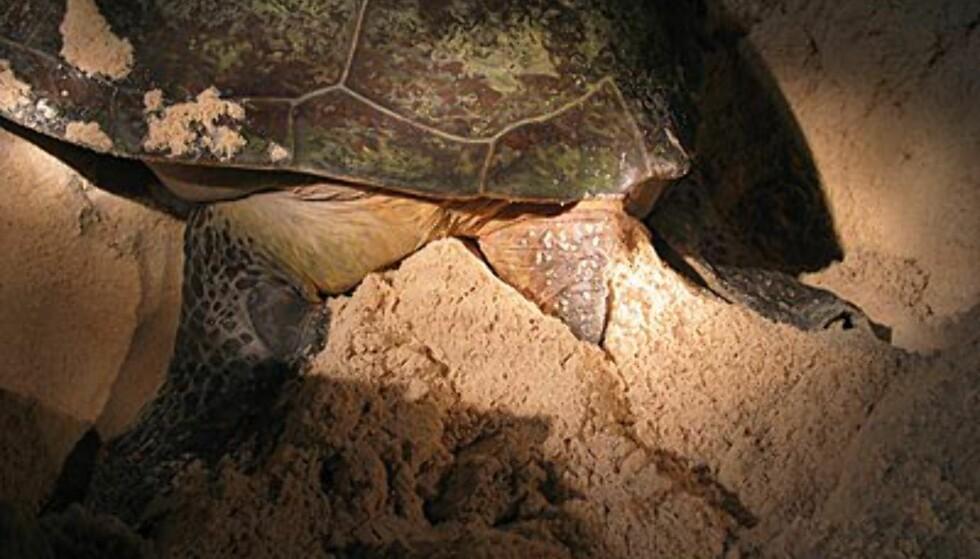 Skilpadden graver ned eggene for å skjule dem mot rovdyr.