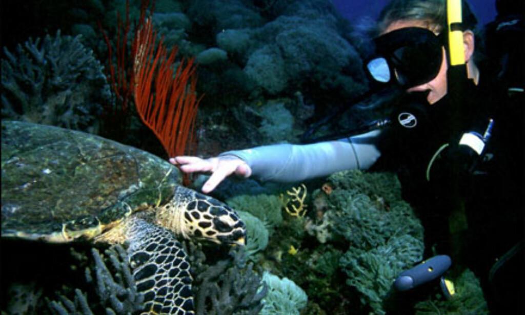 Bilde fra dykk like ved et kjent vrak som heter Yongala, i området Great Barrier Reef. Dykkeren på bildet er Heidi Lagerquist Pedersen, og fotograf er Even Moland. Foto: Heidi Lagerquist Pedersen