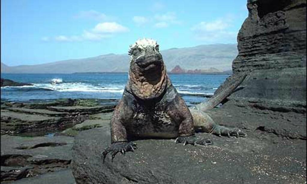 Vann-iguana på Galapagos. Fotograf Agnes Gram forteller: En verden man ikke opplever noe annet sted, og med så mye å se på og ta bilde av, og dyr og fugler så tamme at du kunne ha tatt på dem om det hadde vært tillatt. Med digitalkamera er det lett å gå berserk. Foto: Agnes Gram