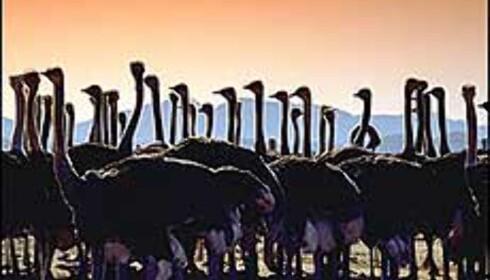 Du kan ri på strutser i Sør-Afrika. Photocourtesy: South African Tourism Foto: South African Tourism