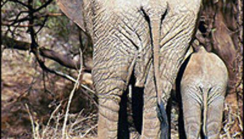 Elefant med unge i en nasjonalpark i Kenya. <I>Foto: Siw Amundsen</I> Foto: Siw Amundsen