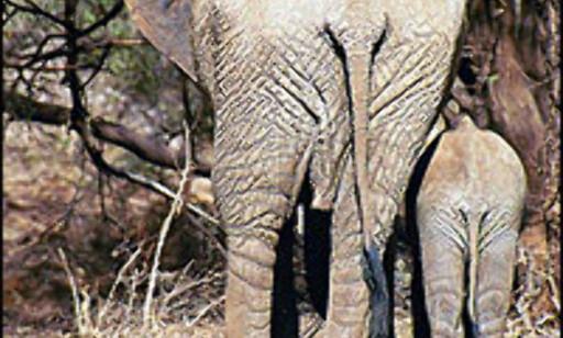 Elefant med unge i en nasjonalpark i Kenya. Foto: Siw Amundsen Foto: Siw Amundsen