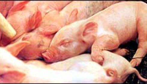 Griser i fjøset og pigs in the tyres er ikke direkte sammenlignbare.