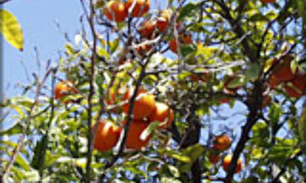 Påske og appelsiner hører sammen - hvorfor ikke like godt dra dit du kan plukke dem selv?