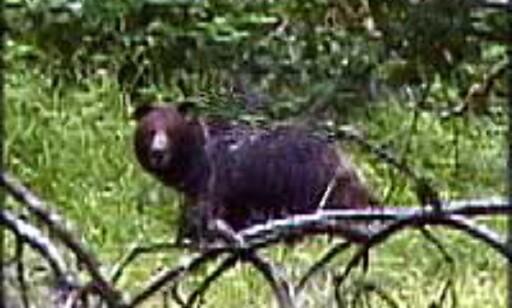 ALASKA: - Bjørn ser vi ofte på utfluktene i Alaska. I elvene er det en tett stim av laks. Man kan bare vasse uti og ta den med hendene, forteller Berit Solstad. Foto: Berit Solstad