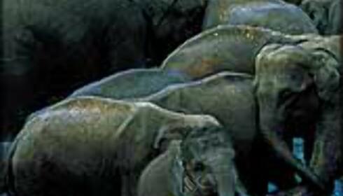 Elefantgjeter i India.