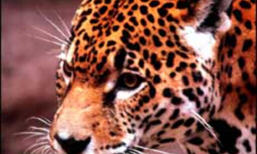 Safari i Kenya for 10.990 kroner.