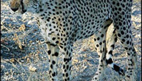 Et glimt av geparden før den fyker av gårde i 70 kilometer i timen. Foto: Gry Gaard Foto: Gry Gaard