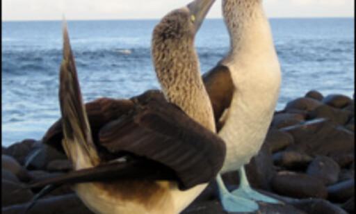 De blåføttede sulene, eller boobies på spansk, lever i par. Foto: Ida Andreassen og Jacob Holmboe Foto: Ida andreassen/Jacob Holmboe