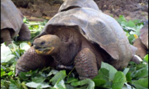 Galapagos' kjempeskilpadden er nærmest utryddet. Foto: Ida Andreassen og Jacob Holmboe