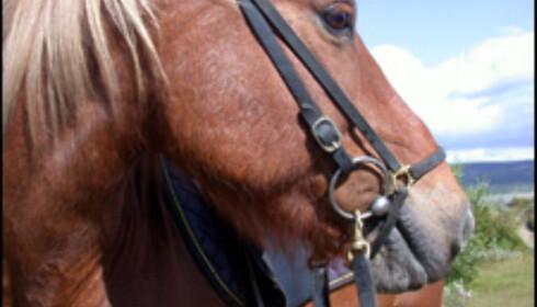 Islandshestene er fabelaktige terreng- hester, og veldig morsomme å ri.