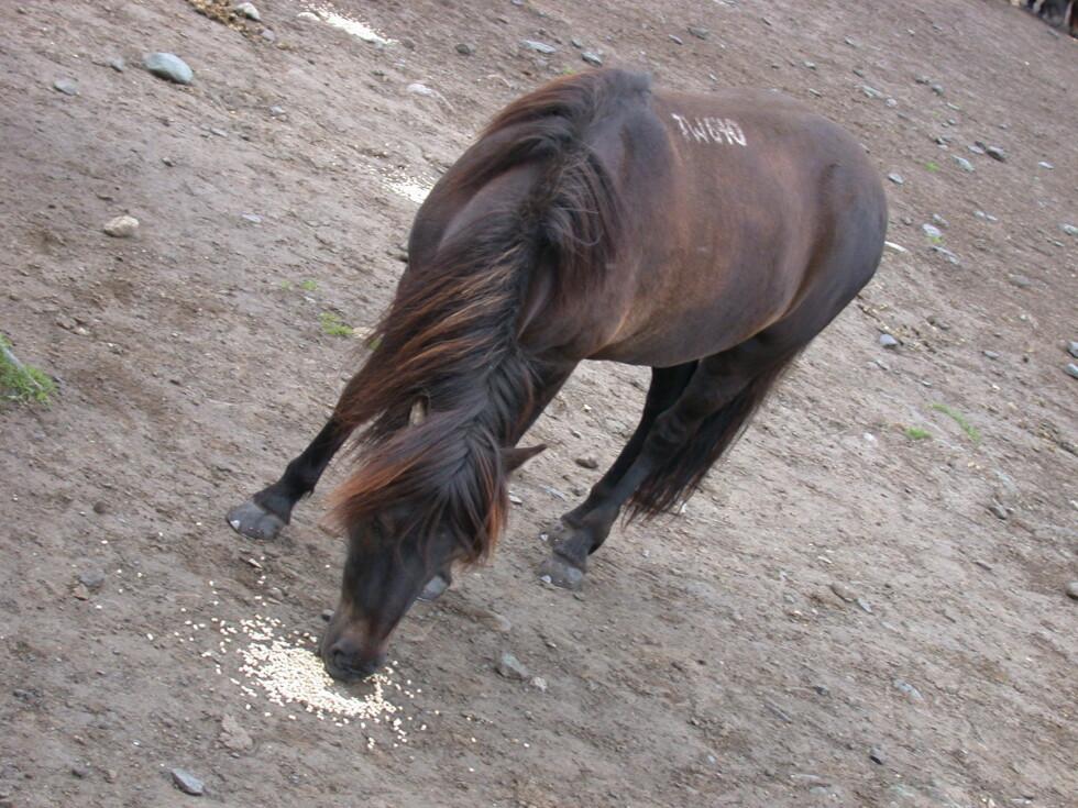 Islandshestene lokkes inn fra beitet med litt pellets. Islandshestene er ikke store krabatene, men er sterke nok til å bære en voksen mann. Men de ekstra langbeinte kan få litt problemer.   Foto: Stine Okkelmo