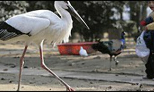 Stork i Kina. Foto: Alloverpress/Gettyimages