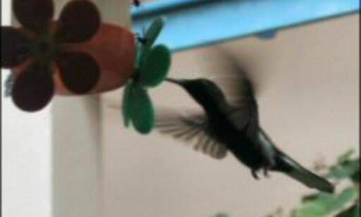 Kolibriene som bor ved Colibri Resort surrer rundt og drikker sukkervann.
