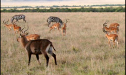 Artsmangfoldet og den store dyre-tettheten har gjort Masai Mara berømt.