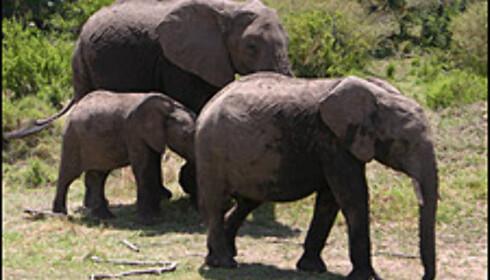 Verdens tyngste landpattedyr trives best i småskogene og ved elveleiene. Hunnene og ungdyrene lever sammen i store flokker, mens de store hannene som regel vandrer alene.