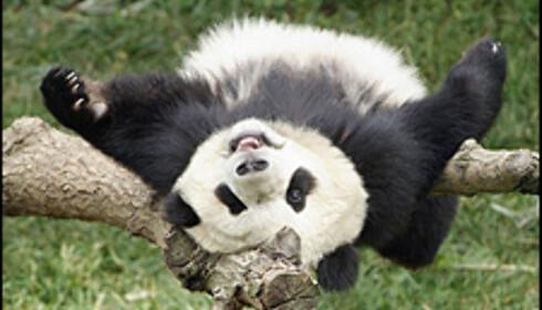 Pandaen kan konsummere 20 til 35 kg bambus om dagen. Foto: A724/GAMMA