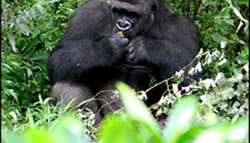 Gorillaer veier like mye som mennesker, men har fire ganger styrken. Foto: Riesma Pawestri
