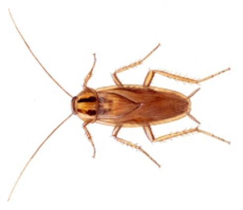 Den tyske kakerlakken er en av verstingene å få i hus. Den er motstandsyktig mot mange insektsmidler og er kjent for å gjøre mye skadeverk.  Foto: FHI