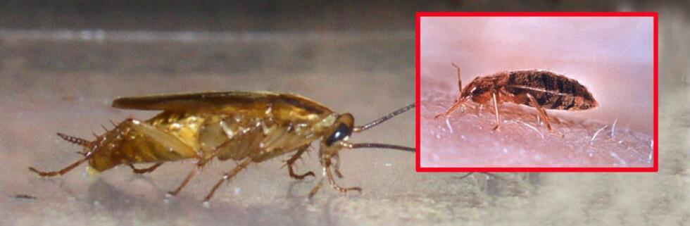 Disse to krypene, tysk kakerlakk og veggdyr, vil du helst ikke ha i hus. Foto: FHI/Wikipedia