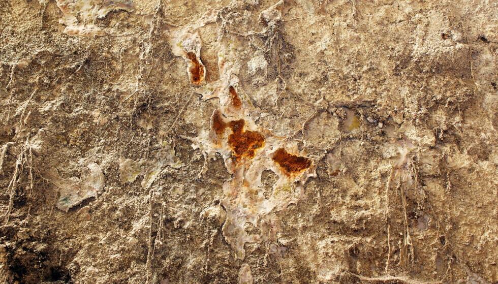EKTE HUSOPP: Dette er eksempel på ekte hussopp, Serpula lacrymans. Ifølge Anticimex er den unik blant råtesoppene ved at den kan frakte med seg sitt eget vann fra fuktige steder til tørre steder. Dermed kan tørre konstruksjoner i huset fuktes ned og begynne å råtne. Når treverket råtner blir cellulosen spist opp, og når cellulosen forsvinner krymper veden sammen og sprekker opp i form av små kuber. Treet blir da lett og farlig sprøtt og mister bæreevnen. Hussoppen vokser raskt ved optimale forhold; opp til 6 mm per døgn! Foto: taviphoto / Shutterstock / NTB scanpix
