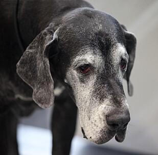 <strong>DYR Å FORSIKRE:</strong> Grand Danois er blant rasene med høy skaderisiko, som gjør den dyr å forsikre. Foto: Tryg Forsikring