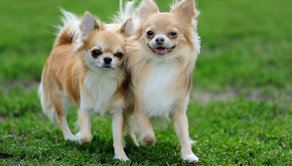 <strong>POPULÆR BLANT DE YNGRE:</strong> Hvilken rase du velger avhenger gjerne av hvor gammel du er. Chihuahua, som avbildet, har flere unge eiere enn mer tradisjonelle hunderaser. Foto: Shutterstock/NTB Scanpix
