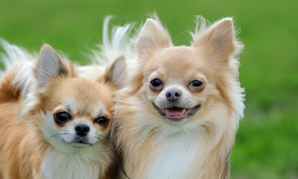 image: Noen hunderaser koster flere tusen kroner mer å forsikre enn andre