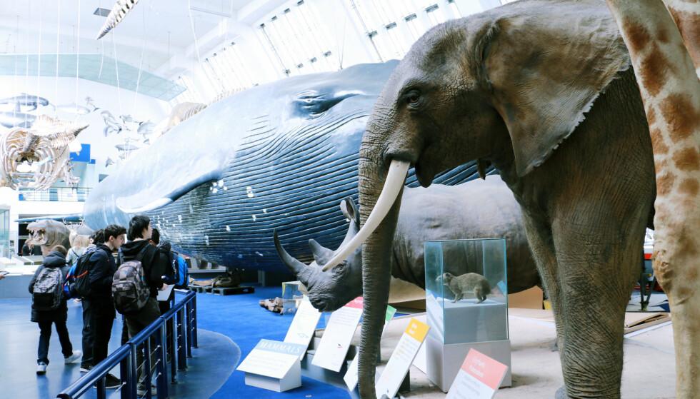 STORT: FLere av de gratis museene i London er svært innholdsrike, som naturhistorisk museum. Foto: Berit B. Njarga