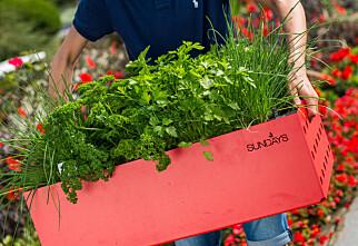 Så enkelt dyrker du din egen urtehage