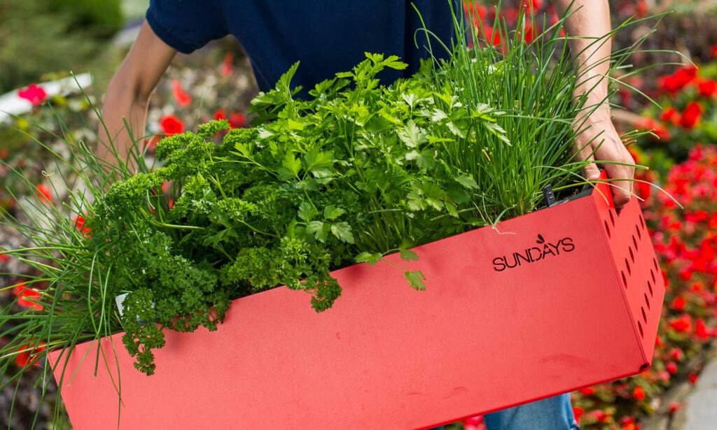 FRISKT UTVALG: Vil du dyrke urter hjemme, har du mange muligheter. Og det beste av alt - det er slett ikke så vanskelig. Foto: Wiig Gartneri AS.