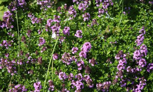 DEKORATIVT OG SMAKFULLT: Sitrontimian smaker ikke bare godt, det pynter også opp hagen. Foto: Mona Barthel Sveen.